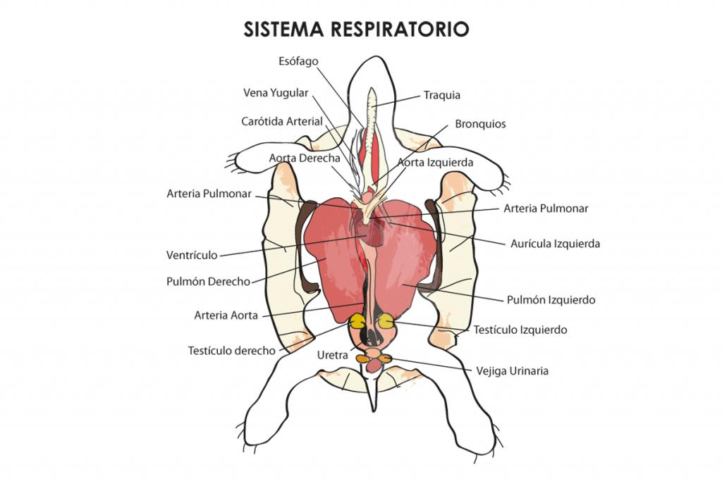 esquema del sistema respiratorio de una tortuga acuática